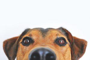 dog peeking over a counter